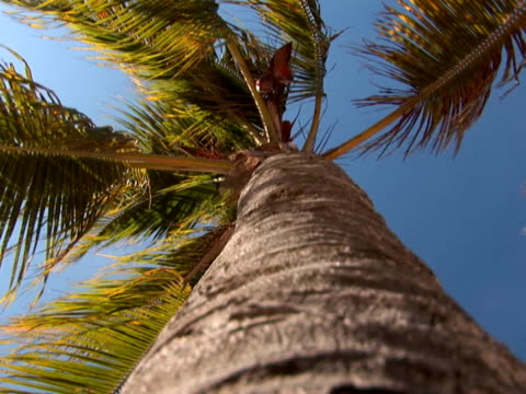 PAL: Palm tree low angle flowering plant stock videos & royalty-free footage
