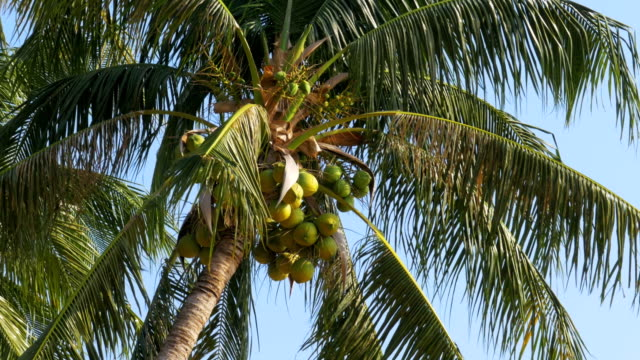 Palm tree with coconuts against the blue sky. Big green coconuts. Thailand Palm tree with coconuts against the blue sky. Big green coconuts. Leaves of palm tree swaying in the wind. Summer. Thailand. Pattaya. Asia. coconut palm tree stock videos & royalty-free footage