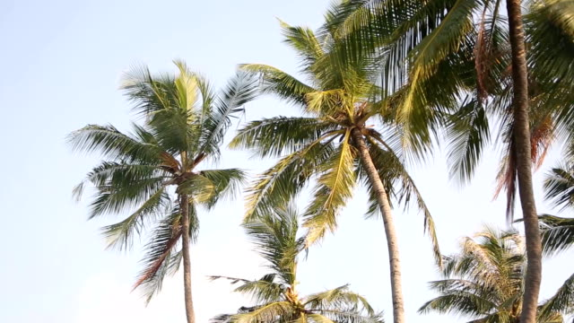 Palm tree with green leaf and sun ray on tropical Maldives island, exotic place video