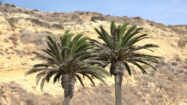 Palm trees against a cliff Beautiful palms with a steep bluff in background desert oasis stock videos & royalty-free footage