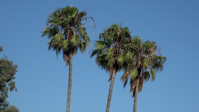 Palm trees against a deep blue sky Three palm trees against a deep blue sky b roll stock videos & royalty-free footage