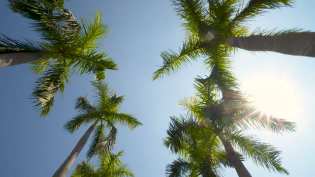 Palm Trees Against a Summer Sky Wide Shot Camera Looking up at Green Palm Trees in 4K format POV