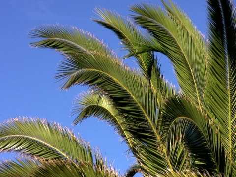 ntsc: 夕暮れのヤシの木 - 顕花植物点の映像素材/bロール