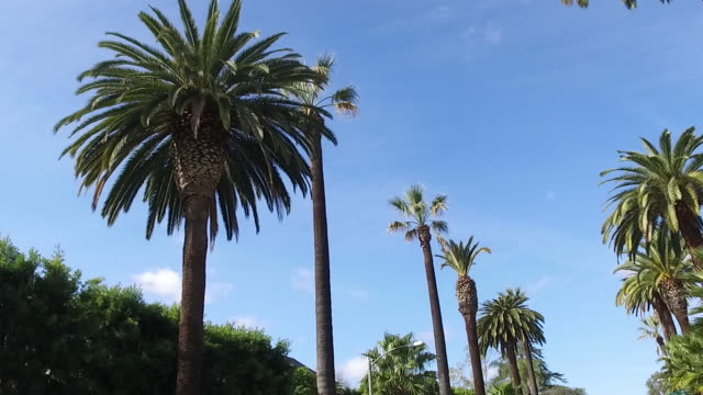 Palm trees beside the streets of LA