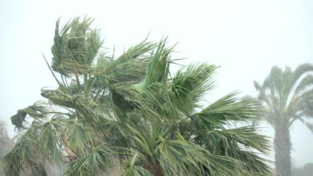 palm trees blow in strong wind of tropical storm. hurricane rains . cyclone - palm tree filmów i materiałów b-roll