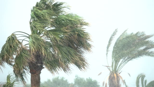 Palm Trees Blow in Strong Wind of Tropical Storm. Hurricane Rains . Cyclone