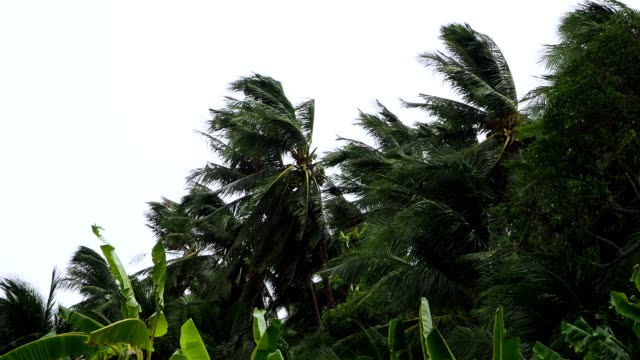 palm trees blowing in the wind during hurricane - albero tropicale video stock e b–roll