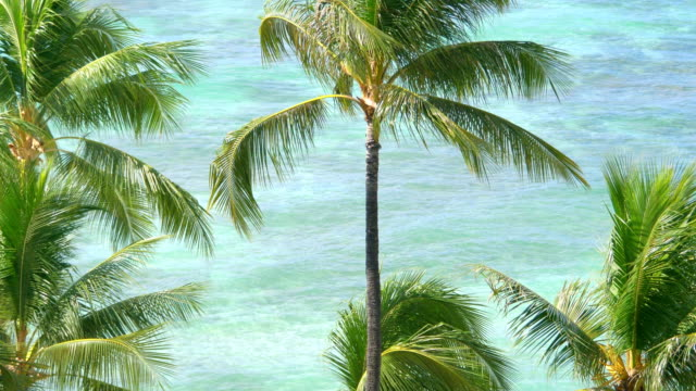 Palm trees in Hawaii in 4k slow motion 60fps