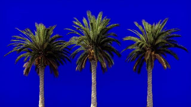 palmen im wind auf dem blauen bildschirm. schöner sommer geloopt hintergrund. - palme stock-videos und b-roll-filmmaterial