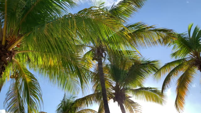 Palm Trees Moving with the Wind Against Blue Sky and Clouds Palm Trees Moving with the Wind Against Blue Sky and Clouds. This video is in slow motion. curaçao stock videos & royalty-free footage