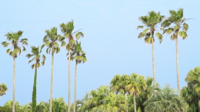 宮崎県都宮崎県アオシマ島沿岸のヤシの木 - ヤシの木点の映像素材/bロール