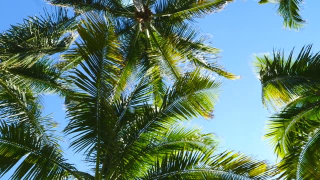 palmy kołysać się na wietrze - palm tree filmów i materiałów b-roll