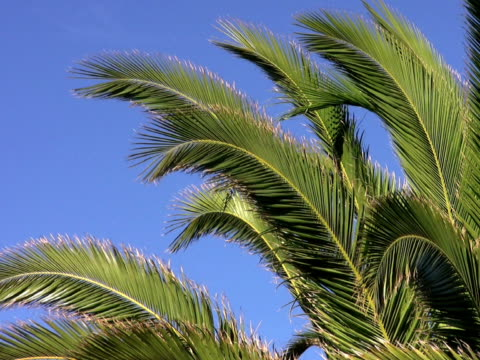 PAL: Palm Trees Branch of a palm tree. flowering plant stock videos & royalty-free footage