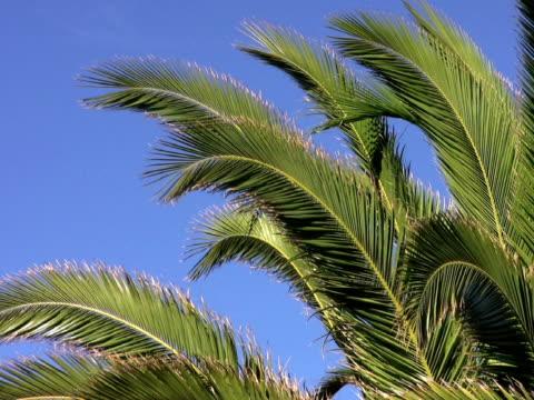 pal: palme - parte della pianta video stock e b–roll