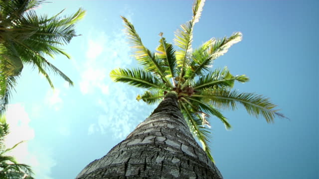 Palmtrees (HD 1080) Selected Takes - Shot on Panasonic HVX 200 / HPX 171 coconut palm tree stock videos & royalty-free footage