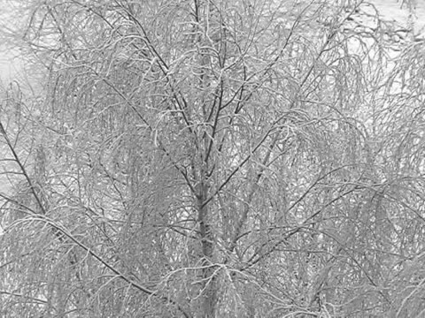PAL.Silver birch. video