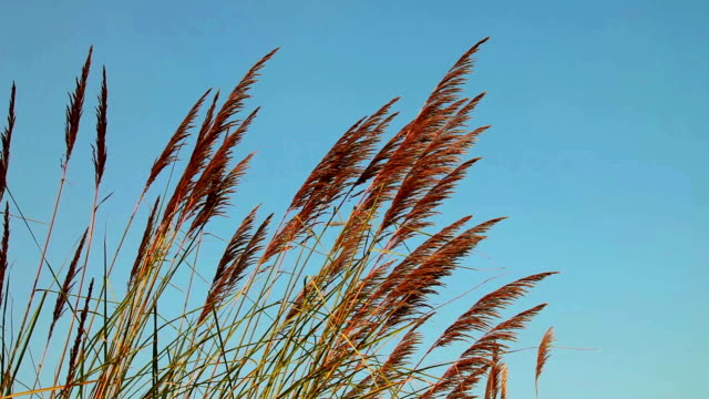 Pampas Grass HD1080p: Pampas Grass swaying through wind outdoor. blade of grass stock videos & royalty-free footage