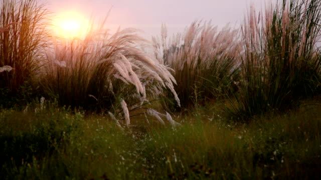 pampas grass - haryana video stock e b–roll