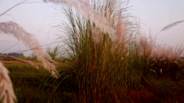 Pampas grass Pampas grass swaying through wind outdoor in the nature. blade of grass stock videos & royalty-free footage
