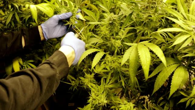 pan across large marijuana plant stock.  marijuana legalization. - hasch bildbanksvideor och videomaterial från bakom kulisserna