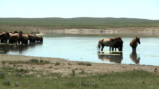 Pan Across Mongolian Steppe Horses At Waterhole video