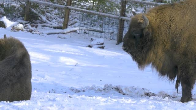 pan across three bisons video