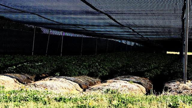 Pan along a ginseng growing operation video