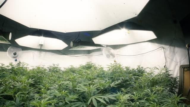 Pan Left Across Indoor Marijuana Plants with Fisheye Lens video