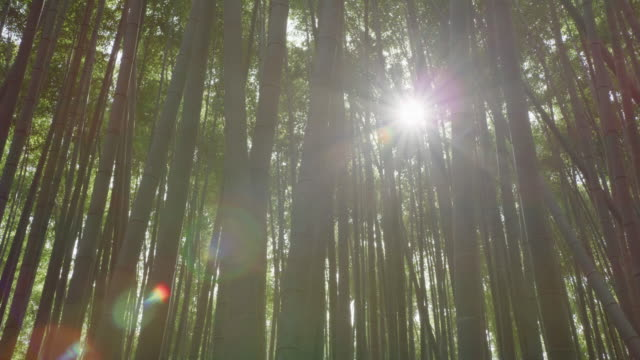 Pan of a flare in Arashiyama Bamboo Grove or Sagano Bamboo Forest, Kyoto. RED Camera. Pan of a flare in Arashiyama Bamboo Grove or Sagano Bamboo Forest, Kyoto. RED Camera. ornamental garden stock videos & royalty-free footage