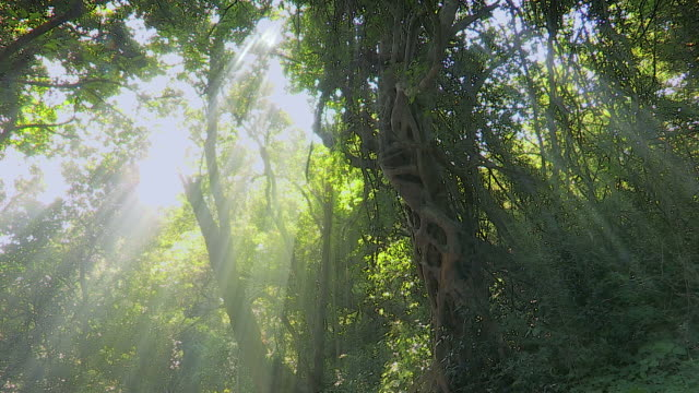 Pan of forest canopy and sunlight in African forest. Pan of indigenous African forest canopy with sun rays shinning through the leaves and branches of trees. natal stock videos & royalty-free footage