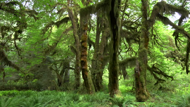 pfanne aus ahorn, die bäume auf dem flur der moose in hoh regenwald zu fuß - ahorn stock-videos und b-roll-filmmaterial