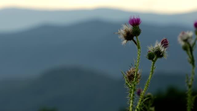 vídeos y material grabado en eventos de stock de pan de flores silvestres espinosas en las montañas blue ridge - flor silvestre