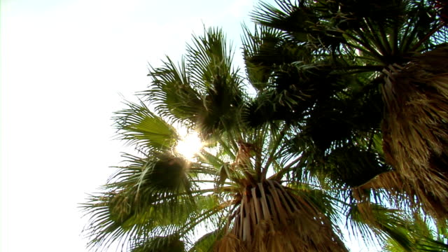 Pan on Palm trees wide video