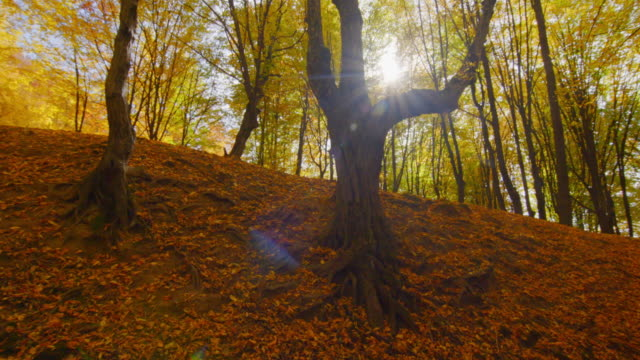 Pan over old forest trees in autumn with sunlight shinning through branches video