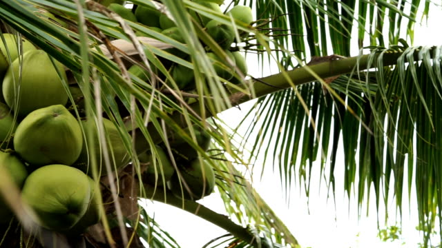 pan shot of coconut tree - кокос стоковые видео и кадры b-roll