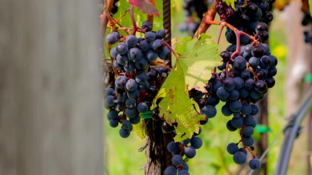 hd: pan shot of vine rows full with grapes - vit rieslingdruva bildbanksvideor och videomaterial från bakom kulisserna