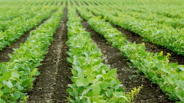 Pan shot: Straight rows of soy bushes. Organic farming without pesticides video