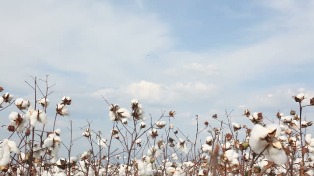 Pan view of cotton field on sky video