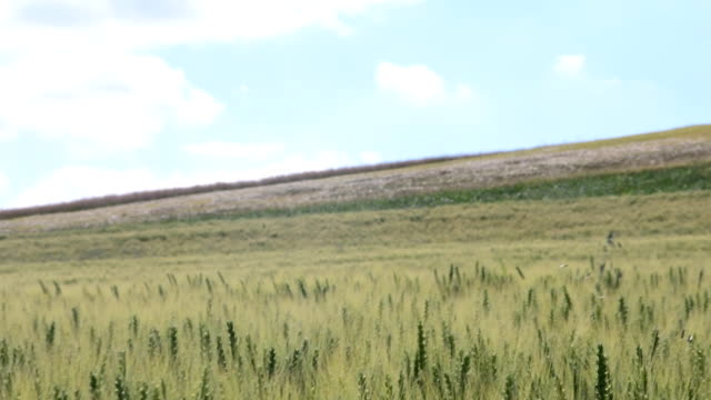Pan view of European landscape in the summer time. Wheat field video