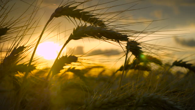 Pan_Up_Wheat_Silhouette_Sunset_4K video