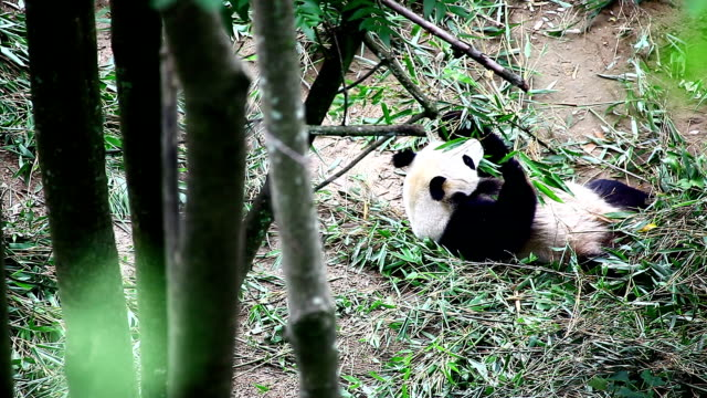 panda A young panda in the Foping Conservation Area, Shaanxi,china paw stock videos & royalty-free footage