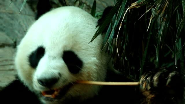Panda Panda animal eating bamboo. giant fictional character stock videos & royalty-free footage