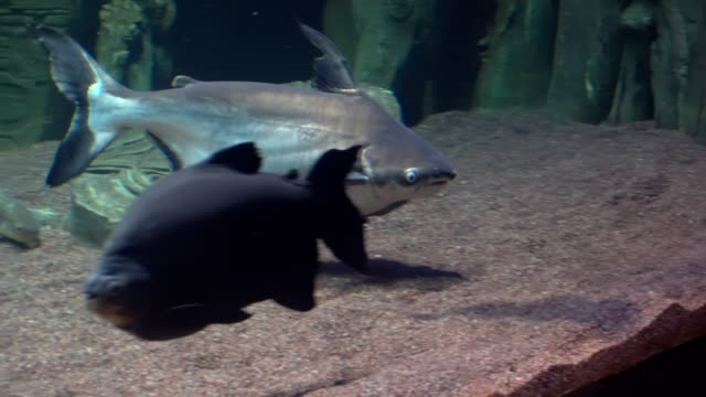 pangasius, güneydoğu asya sularında bulunan bir balık. - i̇htiyoloji stok videoları ve detay görüntü çekimi