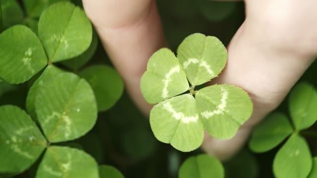 vídeos de stock, filmes e b-roll de atravessando um campo de trevos, encontrando e escolhendo um trevo de quatro folhas sortudo. forma shamrock para o amuleto da sorte ou dia de são patrício. - boa sorte