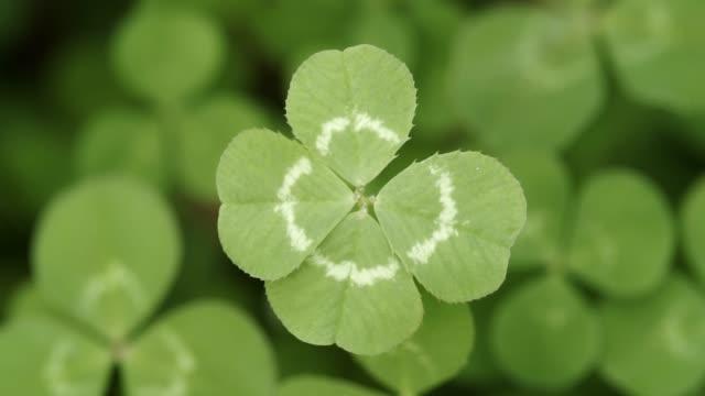 vídeos de stock, filmes e b-roll de atravessando um campo de trevos parando em um trevo de quatro folhas sortudos. forma shamrock para o amuleto da sorte ou dia de são patrício. - boa sorte