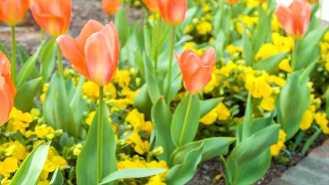 Schwenken in lebhaftem Orange Tulpen – Video