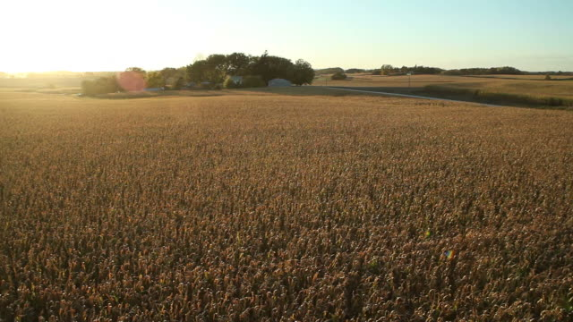 Panning Aerial Backlit Fall Cornfield with Setting Sun video