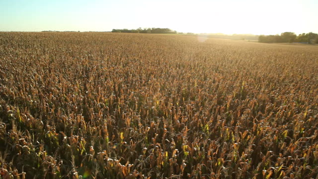 Schwenken Luft von hinten beleuchtete Herbst Cornfield bei Sonnenuntergang – Video