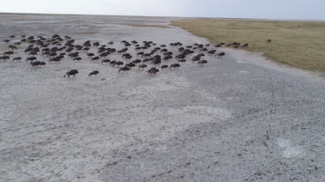Panning aerial view of a group of wildebeest running across the vast Makgadikgadi Pans video