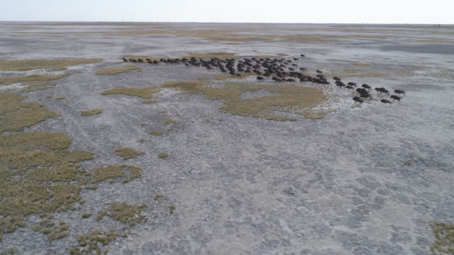 Panning aerial view of a group of wildebeest running across the vast Makgadikgadi Pans Panning aerial view of a group of wildebeest running across the vast Makgadikgadi Pans, Botswana botswana stock videos & royalty-free footage